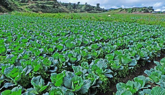 Cordillera fruit and vegetable farm